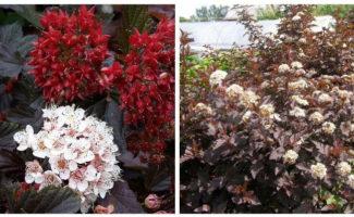 Пузыреплодник Ред Барон — фото и описание сорта, применение в ландшафтном дизайне